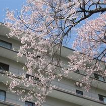 日光千姫物語横に咲く桜