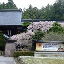 東照宮美術館前の枝垂桜