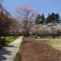 慈雲寺山門前の牡丹桜