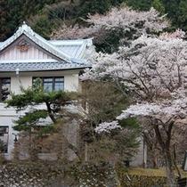 日光市役所総合支所の桜