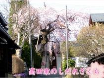 高田家しだれ桜