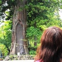 戸隠神社の杉の木