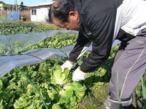 自家農園でお父さんが、作るレタス新鮮です