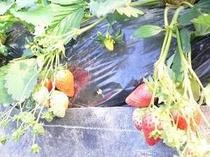 甘くて美味しいもぎたてのイチゴ狩りをお楽しみ下さい