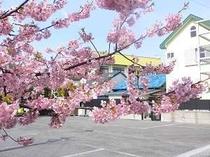 アネックスの駐車場から見た桜です。