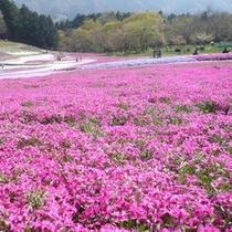 芝桜(4月下旬〜5月中旬)