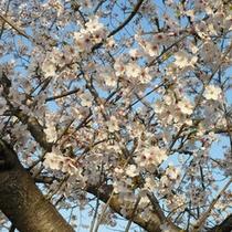 桜(4月下旬〜5月中旬)