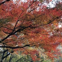 紅葉(11月中旬〜11月下旬)