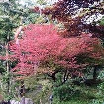 お庭の五葉躑躅の紅葉