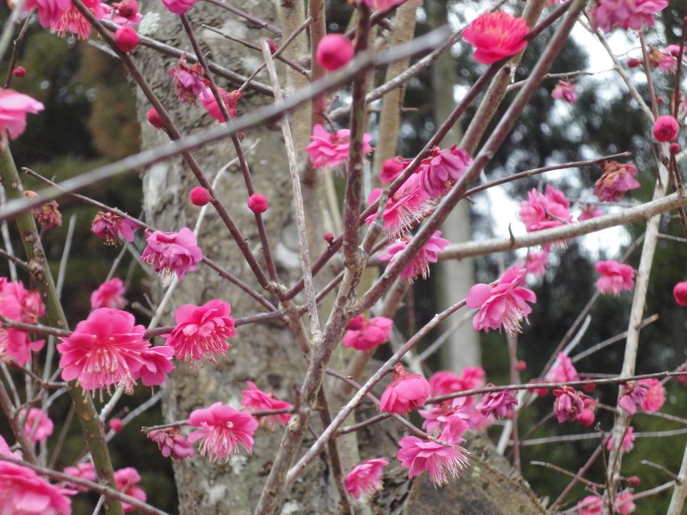 2月中旬梅の花が咲いて綺麗
