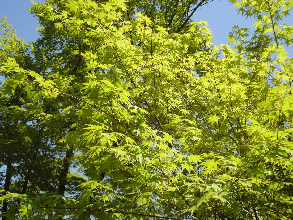 新緑の紅葉