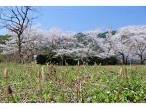 春到来 満開の桜とつくし