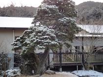 旅館の松の木 雪景色