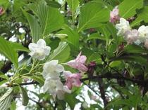 5月の中旬頃卯の花がお部屋から眺めることができる