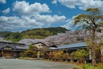 桜の時期には旅館の周り桜が包む