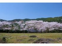 旅館の周り桜満開
