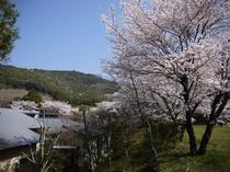 桜の時期は旅館を桜が包む