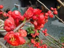 春の時期 ボケの花満開です。