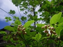 パフィオ庭のサラサドウダン