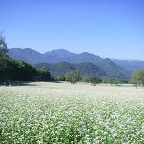 *【たかつえのそば畑】毎年多くの人を魅了するそばの花(例年9月上旬見頃)