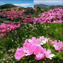 池の原、宝原、そして、仁田峠と5月中旬から下旬にかけ見頃♪