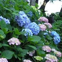 園地内遊歩道に咲く紫陽花を見ながら散策はいかが!?