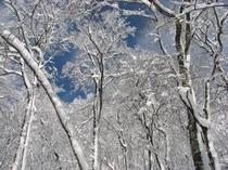 ブナ林と青空(冬)