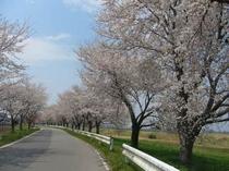 堤防に咲いた桜並木