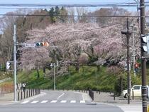 観光物産館前に咲いた桜。