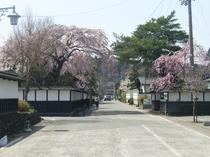 水沢県庁前に咲いた桜。