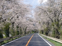 北上川堤防に咲いた桜。