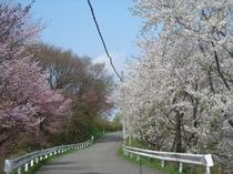 鳴子公園の桜並木