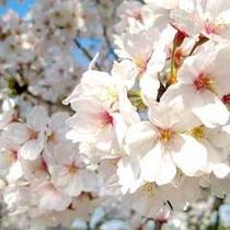 *桜イメージ