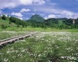 田ノ原湿原のワタスゲ