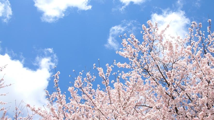 春の風物詩『桜』