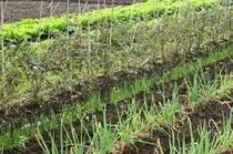 【阿蘇の四季農園】季節の野菜も生育中