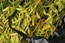 たわわに実った大豆