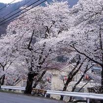 満開の桜をご覧下さい