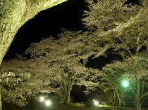 大野ダム公園の夜桜
