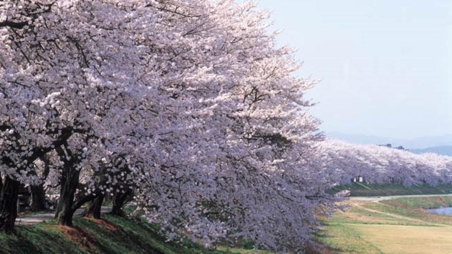 ●足羽川桜並木