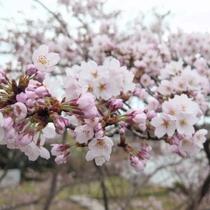 ●hanaゆらり周辺の桜