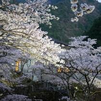2017.04.14~16 桜満開
