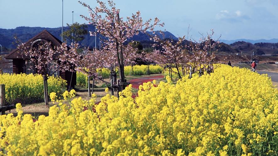 *周辺観光:天下一ひむか桜と菜の花