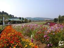 富田林農業公園花畑コスモス