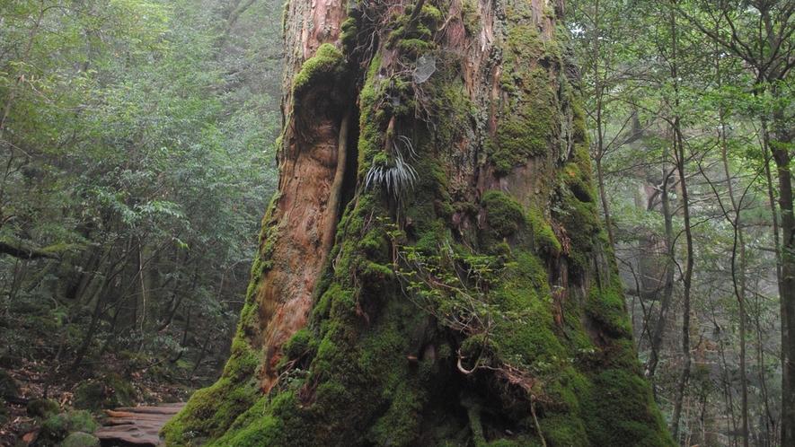 *【周辺】白谷雲水峡の杉