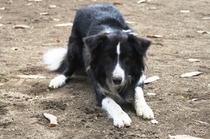 【看板犬】我が家の看板犬ボーダーコリーのディーボです。遊びが好きな男の子です。