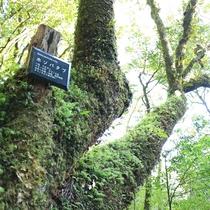 【白谷雲水峡】屋久杉などの原生林や苔の景観が広がる光景は神秘的。
