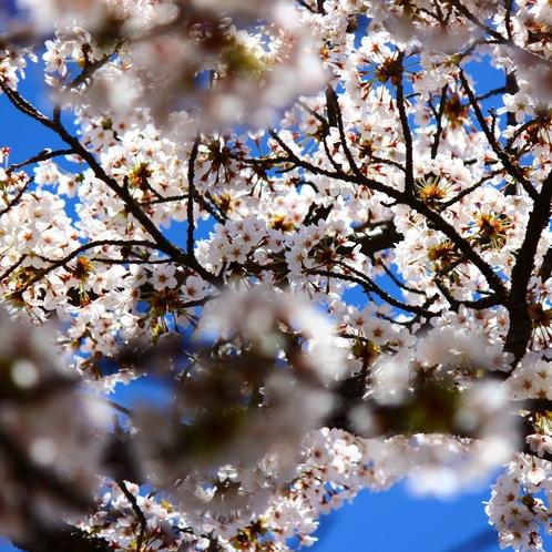 玄関先の桜