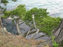 岩肌に生える松