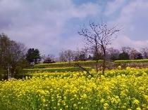 飯山の菜の花公園